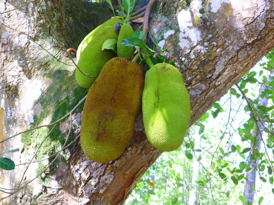 Jackfruit in Tree Zanzibar | The Girl Next Door is Black