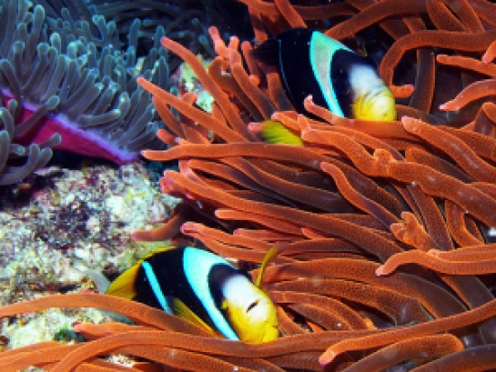 Clown fish in Zanzibar Indian Ocean CR:  BBM Explorer, flickr.com | The Girl Next Door is Black