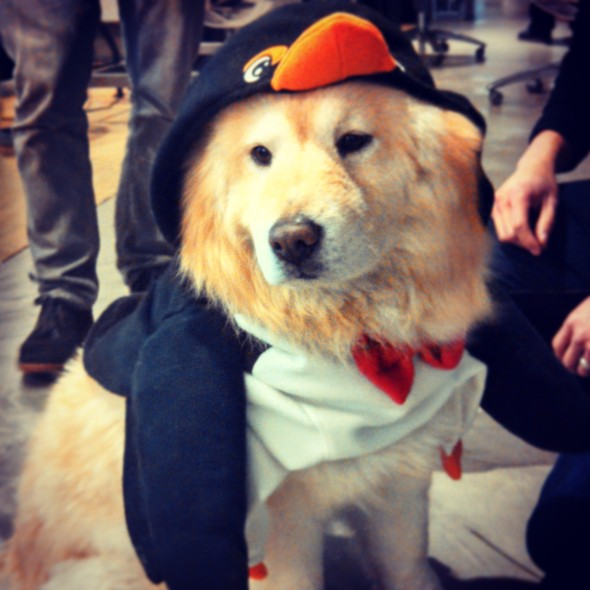 This cutie chow in a penguin suit won best dog in costume at my job.